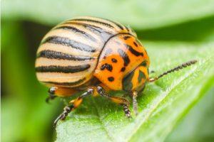 Garden Beetles UK